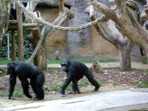 fotos animales zoo barcelona ximpanz 233 s zoo de barcelona 2004 171 txtarte