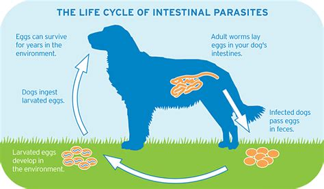 intestinal parasites in dogs intestinal parasites in dogs cats symptoms and prevention cat and other pet