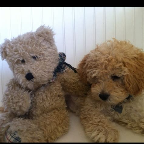 mini labradoodles carolina labradoodle looks like our teddy animals