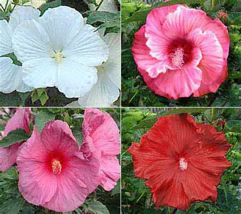 cottage farms hibiscus cottage farms 4 pc perennial hibiscus collection qvc
