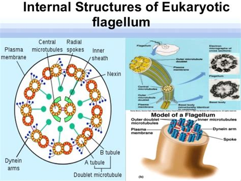 diagram of flagella ppt flagella seminar