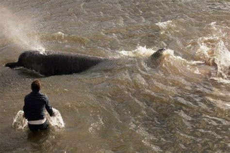 sungai thames di london satu harapan kehidupan mamalia besar laut di sungai