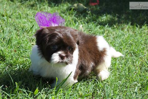havanese dallas small chocolate havanese puppies for sale breeds picture