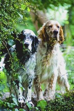 english setter house dog dr corgi says you fell off the woof and broke a bone