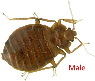 male bed bug male bed bug milwaukee pest identification guide identify