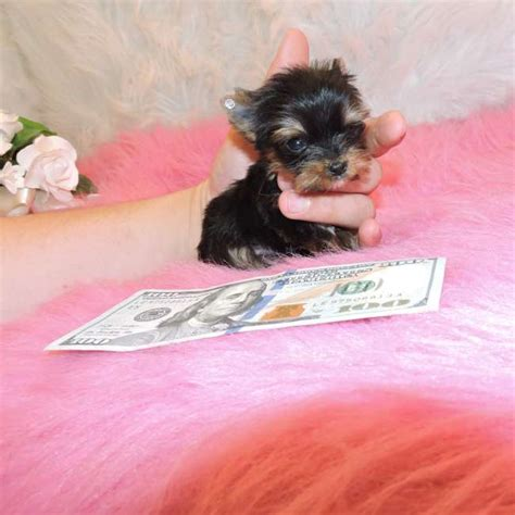 teacup yorkie shedding teacup non shedding puppies rachael edwards