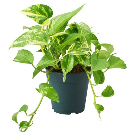 epipremnum potted plant golden pothos ikea
