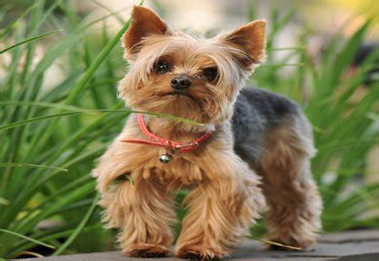 yorkies for dummies yorkie terrier special qualities breeds picture