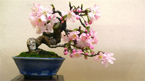 maple tree symbolism bonsai symbolism