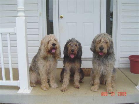 otterhound puppies for sale otterhound puppies otterhound breeders otterhounds for sale breeds picture