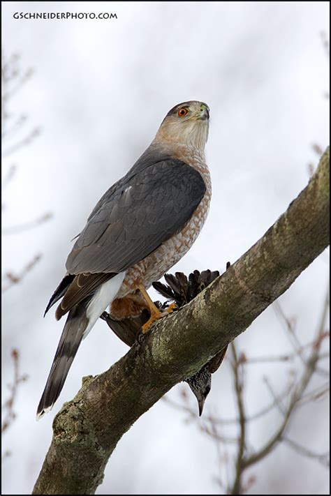 cooper s hawk with starling prey
