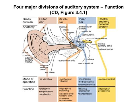 three main sections of the ear s 319 ppt download