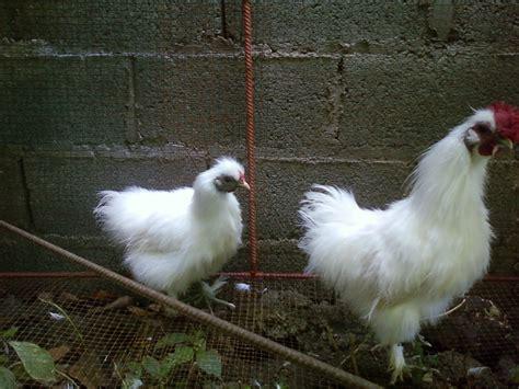 imagenes gallina japonesa gallinas de raza 2011 01 09
