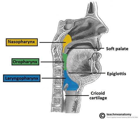 The Pharynx Subdivisions Blood Supply Teachmeanatomy