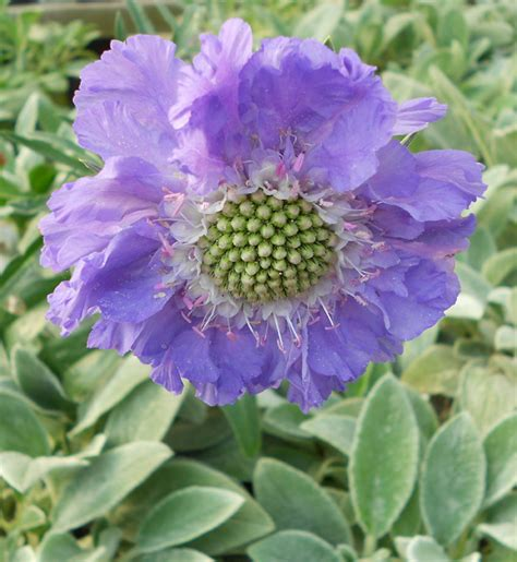 late blooming perennials my petal press garden blog late summer blooming perennial