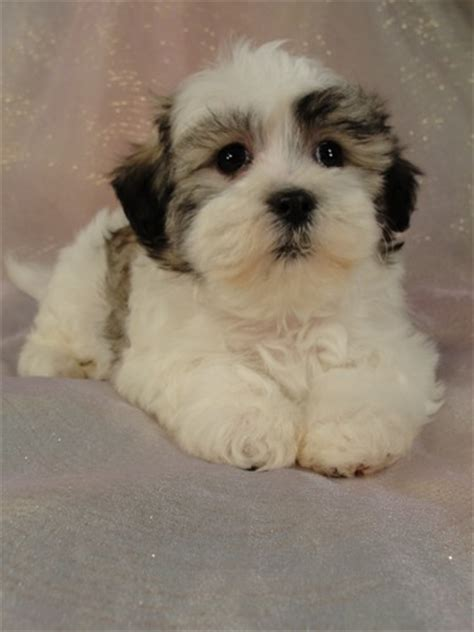 bichon shih tzu mix for sale in michigan shih tzu bichon puppy for sale 3 born february 16 2012