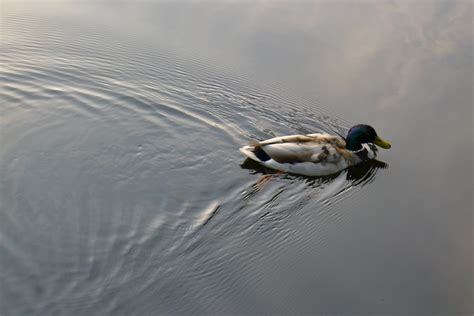 duck boat acronym wake spreading after duck water calendar