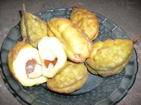 Bibit Tanaman Strawberry Earlybrite gambar jual bibit tanaman buah nam kopi anjing lapak hgs