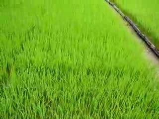 Furadan Padi cara menanam budidaya padi pertanian