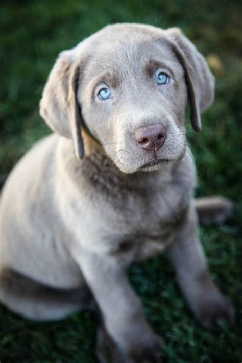 gray lab puppies best 20 silver labs ideas on