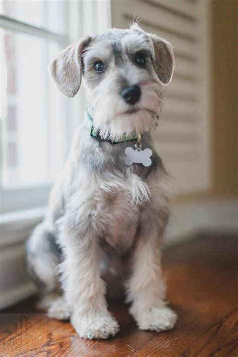 image gallery schnauzer haircuts 1301 best images about schnauzers on pinterest standard