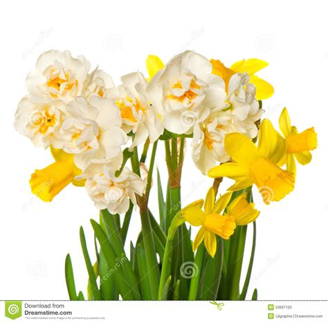 fiori bianchi nomi e foto fiori bianchi e gialli della sorgente fresca narciso