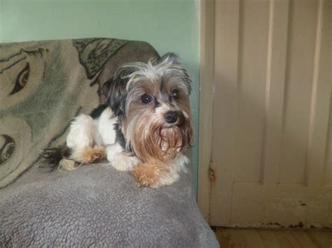 how big is a yorkies stomach micro yorkie 2 pound breeds picture