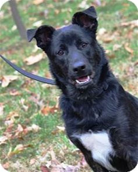 german shepherd puppies for adoption in ct dogs needing rescue on labrador retriever adoption and border collie mix
