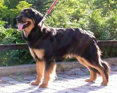 rottweiler and golden retriever mix hovawart the hovawart looks like a cross of a rottweiler and a golden retriever