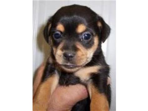 miniature rottweiler for sale miniature rottweiler for sale in washington dogs in our photo