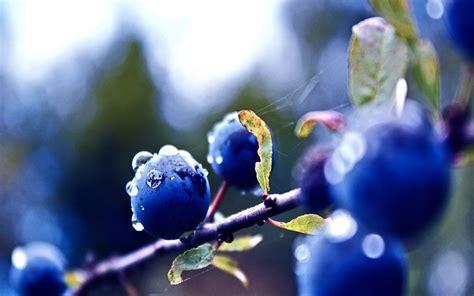 blueberry wallpaper free blueberry wallpaper 1280x800 24474