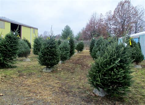 experiencing illinois wisewell s christmas tree farm