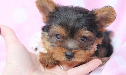 funko pop yorkie 1000 ideas about yorkie on yorkie puppies yorkie haircuts and
