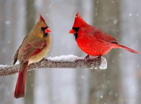winter northern cardinals copyright strictly enforced
