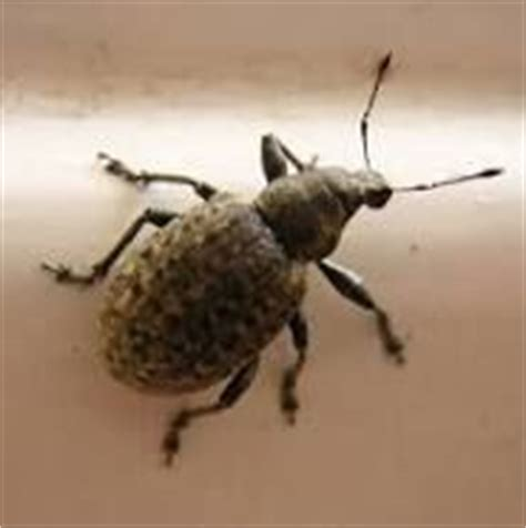 How To Keep Weevils Out Of Pantry by 17 Best Images About How To Get Rid Of Quot Weevils Quot On