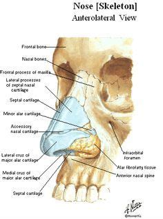 labelled diagram of the nose nas cart n bone nose anatomy inner nose diagram parts of
