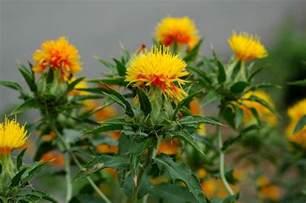 Easy Indoor Gardening Ideas - how to grow safflower growing safflower guide
