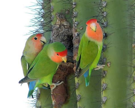 mexicanlove bird rosy faced lovebird