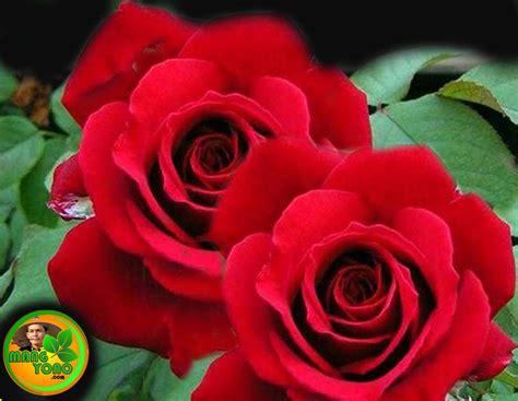 menanam  merawat tanaman hias bunga mawar