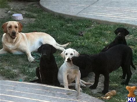 lab puppies for sale in southern california labrador puppies for sale in southern california