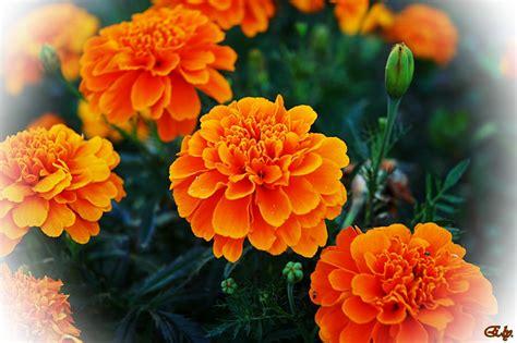 imagenes flores naranjas de color naranja imagen foto plantas flores