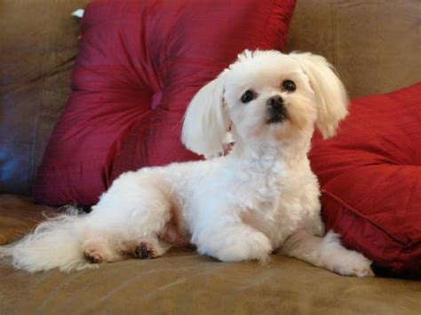 puppies for sale oregon maltese puppies for sale in oregon breeds picture
