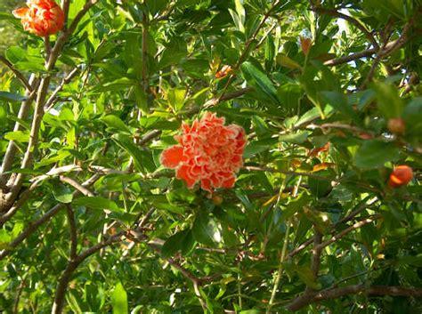 fiore di melograno alberi da frutto melograno