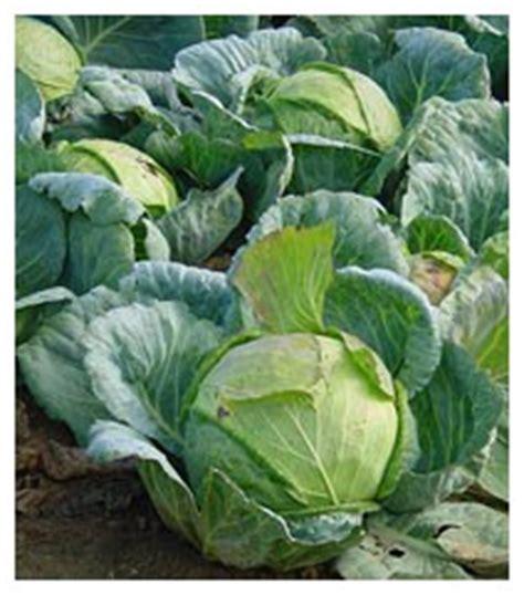 alimentazione per ipotiroidei cavolo piante officinali ed erbe medicinali