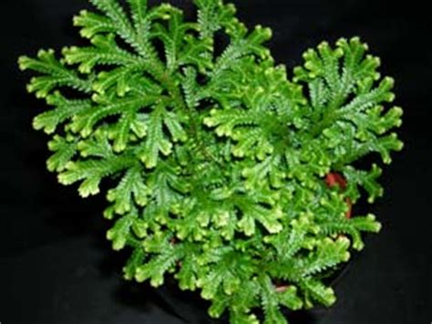 Wholesale Fruit Trees - selaginella kraussiana