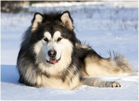 alaskan husky alaskan husky facts pictures puppies breeders characteristics diet information