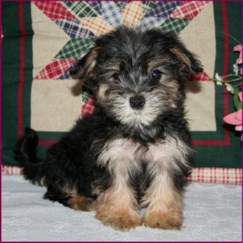 teacup yorkies for sale in iowa american bulldog puppies morkie yorktese yorkie maltese puppies sale iowa