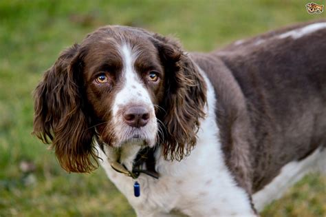spaniel puppy is a springer spaniel the right choice of for you pets4homes