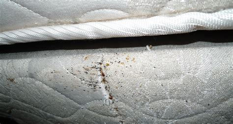 can bed bugs live in memory foam 4 reasons not to ignore signs of bed bugs science news