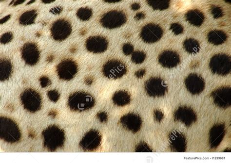 cheetah skin stock photo   featurepics